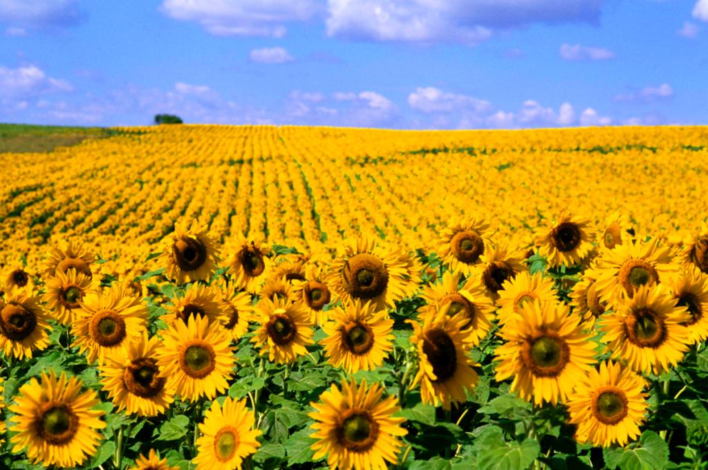 sunflowerws3
